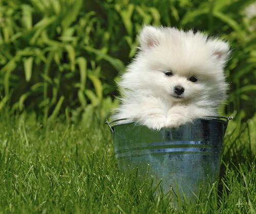 White Puppy in a Bucket