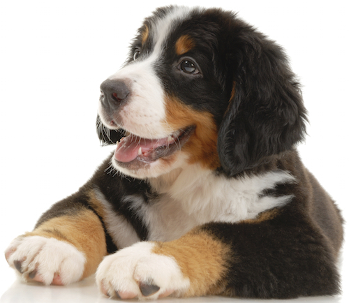 Bernese Moutain Pup