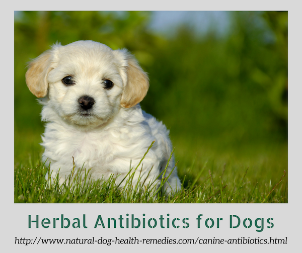Herbal Antibiotics for Dogs