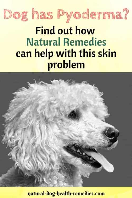 Natural Remedies for Pyoderma in Dogs