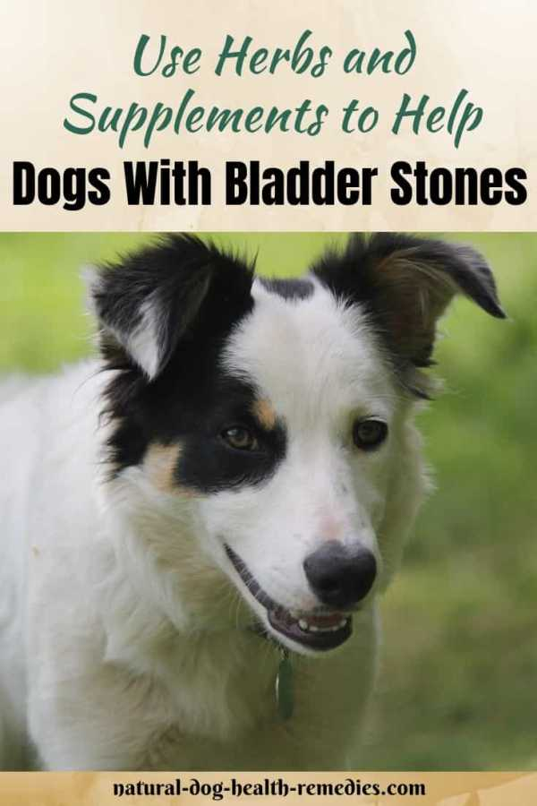 Canine Bladder Stones Home Remedies