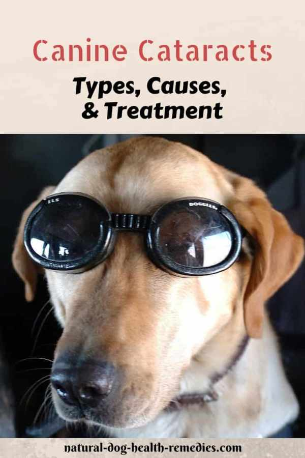 Canine Cataracts Causes and Treatment