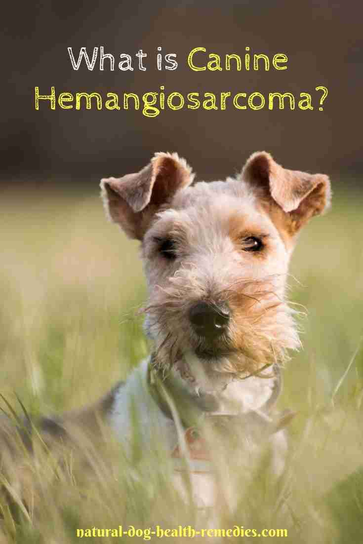 Symptoms and Treatment for Canine hemangiosarcoma