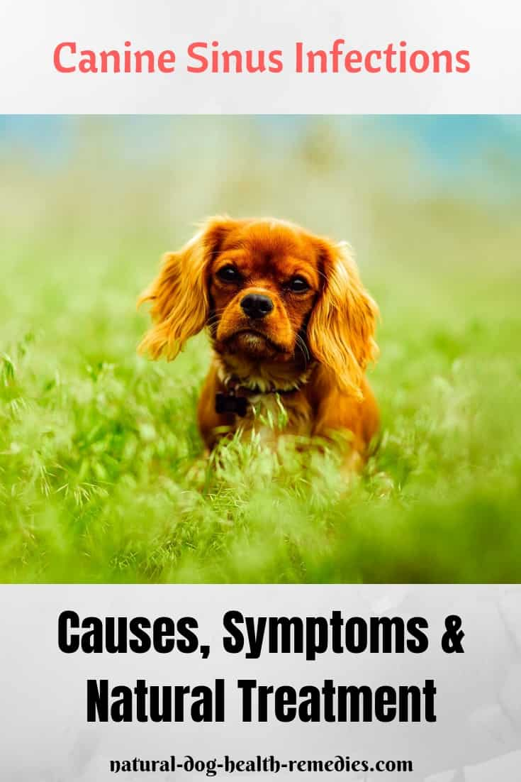 Canine Sinus Infection Treatment