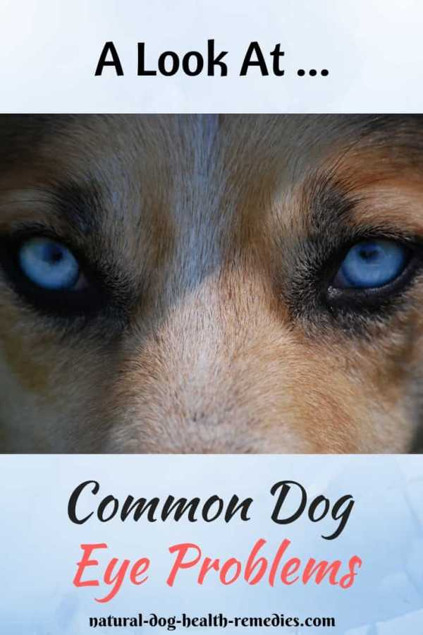 Dog Eye Problems and Eye Care