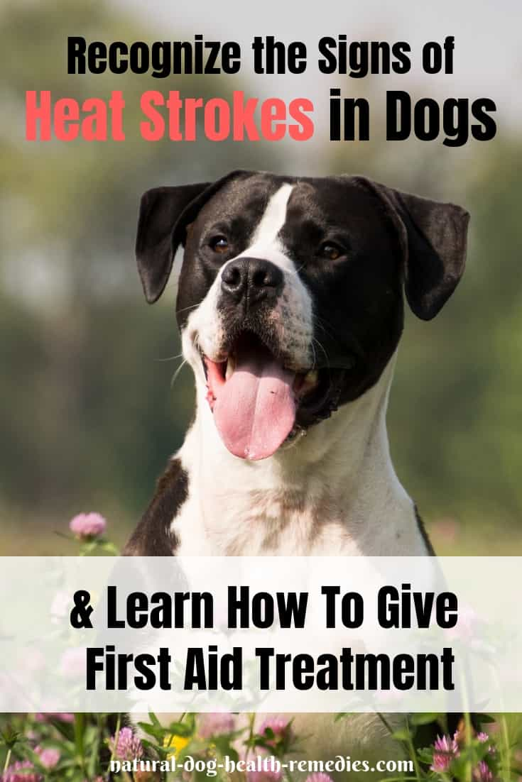 Dog Heat Stroke Treatment