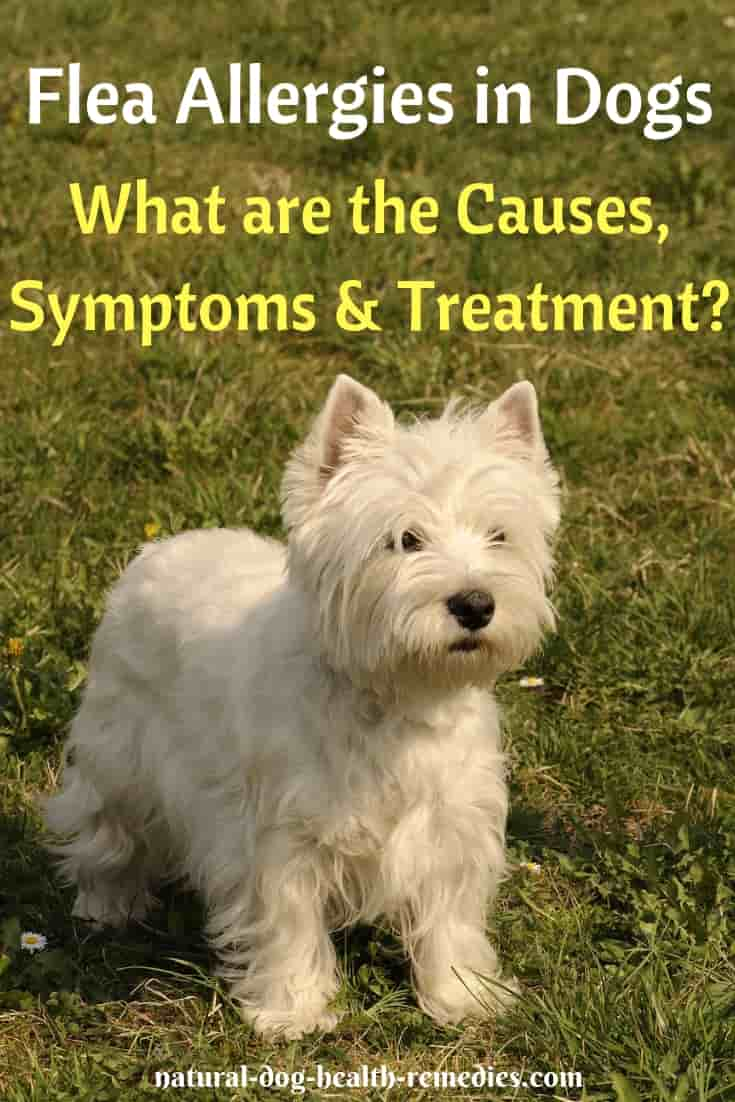Home Remedies for Flea Allergies in Dogs