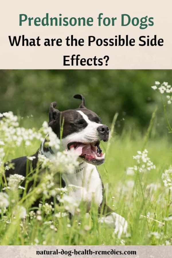 Side Effects of Prednisone for Dogs