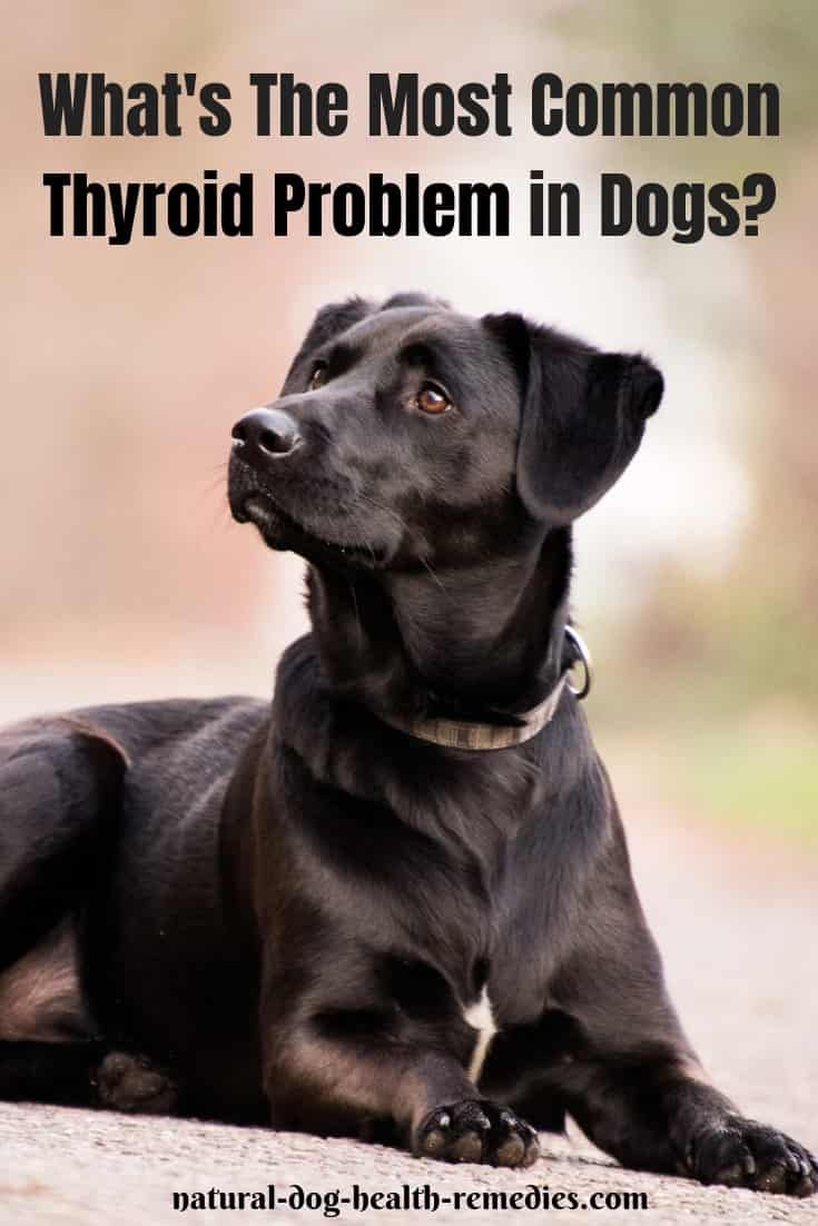 Thyroid Problems in Dogs