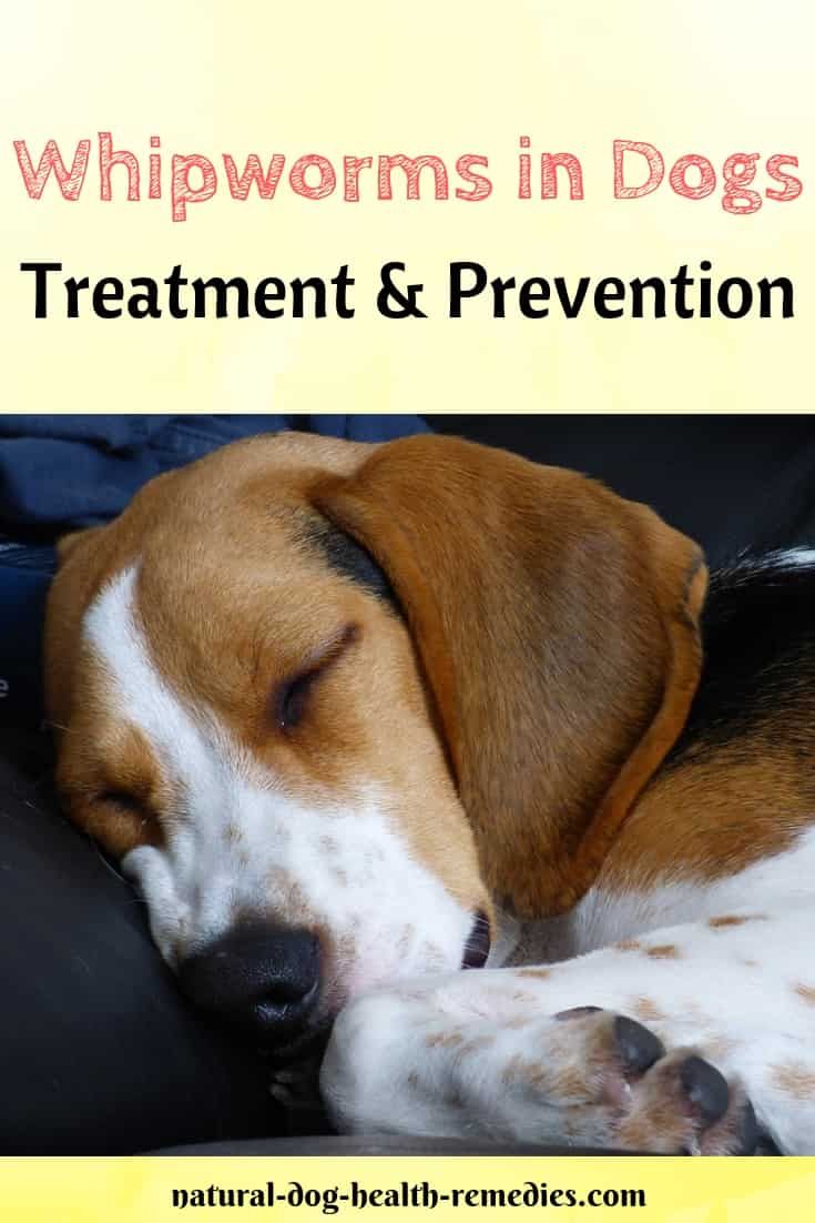 Whipworms in Dogs Symptoms, Treatment, Prevention