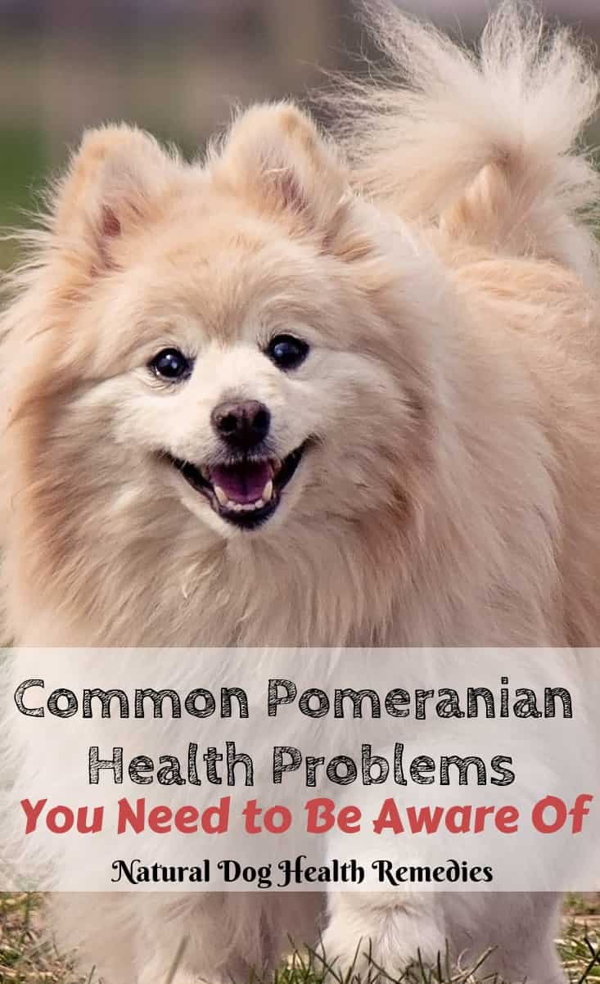 Common Pomeranian Health Problems