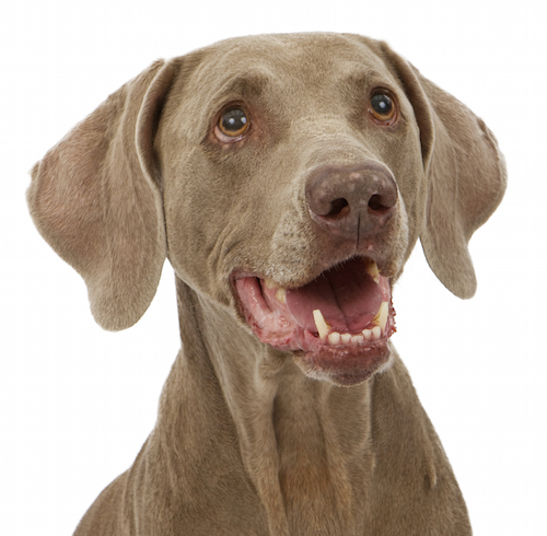 Lymphoma in Dogs | Canine Lymphosarcoma Symptoms and Treatment