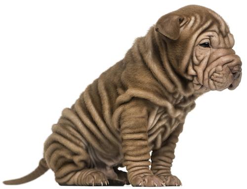 Canine Seborrhea - Use Natural Remedies To Treat Skin ... Oily Seborrhea In Dogs Treatment