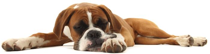 A lethargic dog