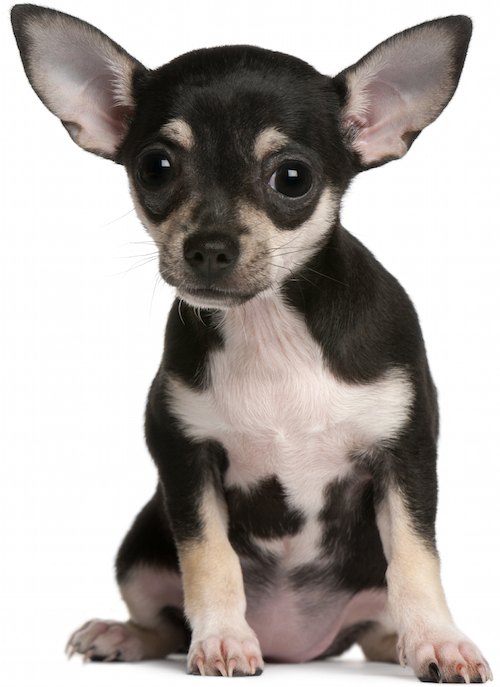 Chihuahua Health Problems Dog Breed Chihuahua Health