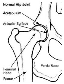 Dog Hip Joint
