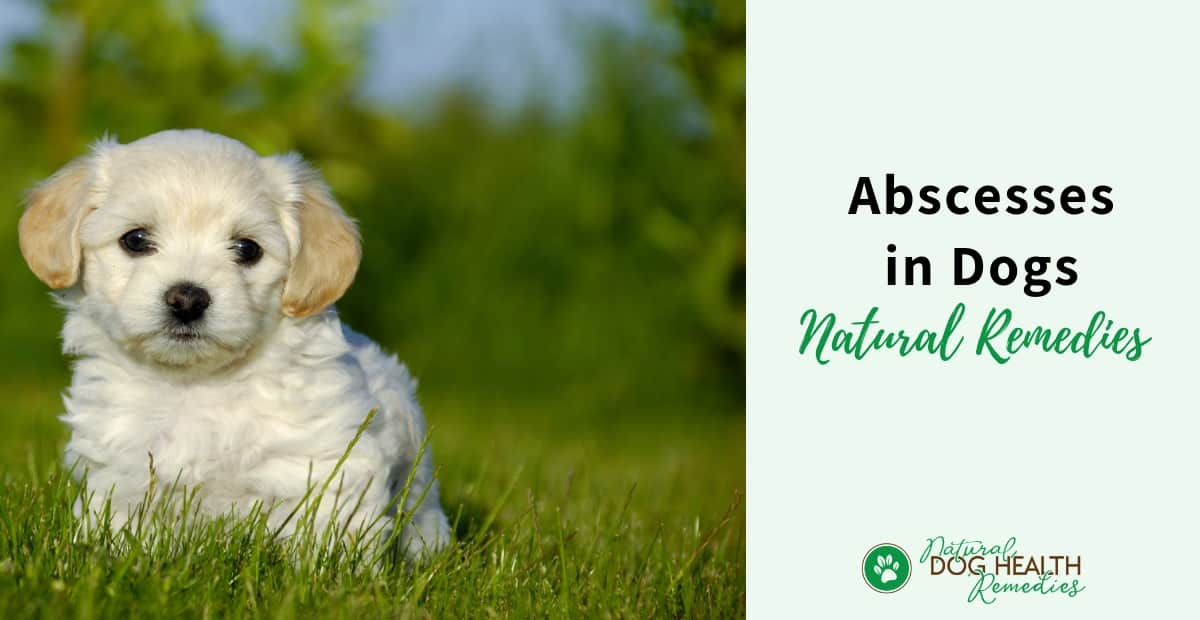 Natural Remedies for Abscess in Dogs
