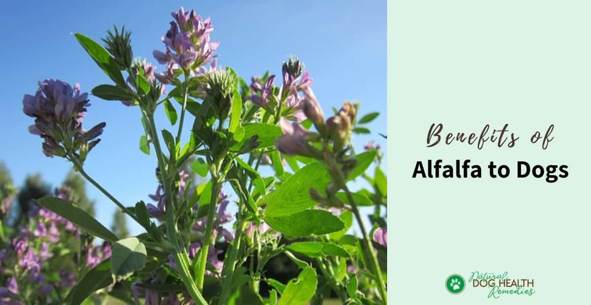Alfalfa Benefits for Dogs