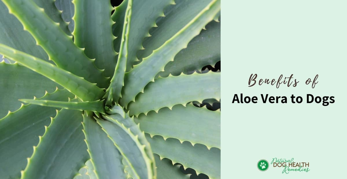 Aloe Vera for Dogs
