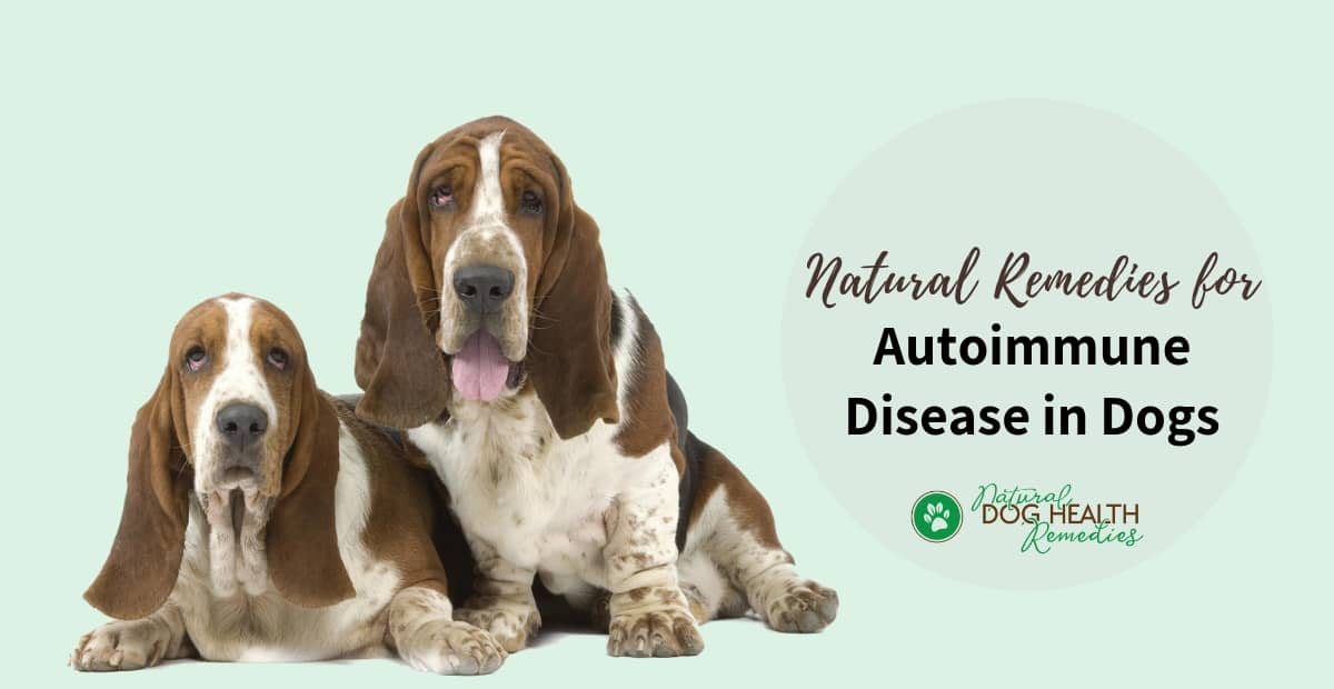 Autoimmune Disease In Dogs Causes And Natural Treatment