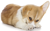Puppy Corgi