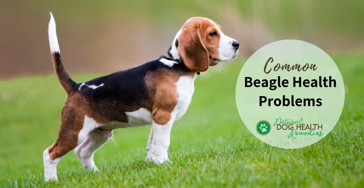 Common Beagle Health Issues