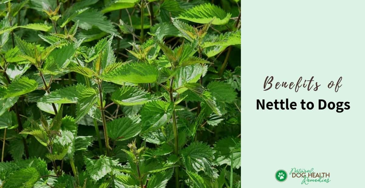 Benefits of Nettle for Dogs