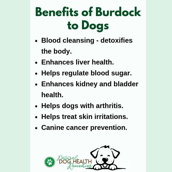Benefits of Burdock to Dogs