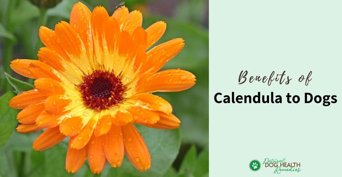Calendula Benefits for Dogs