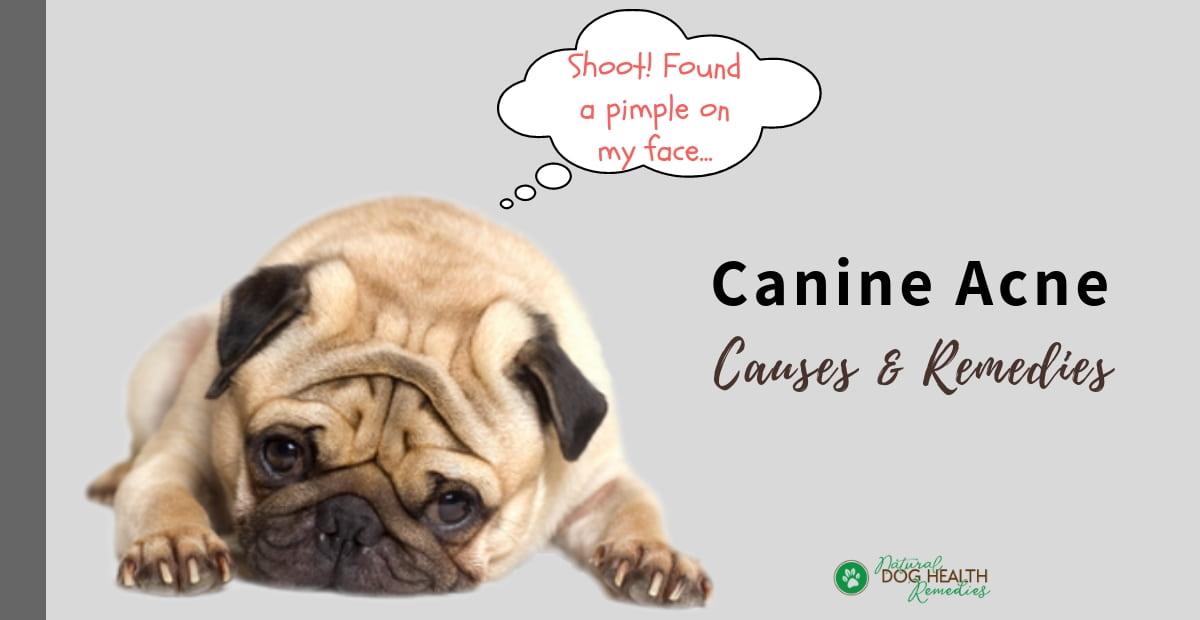 Canine Acne