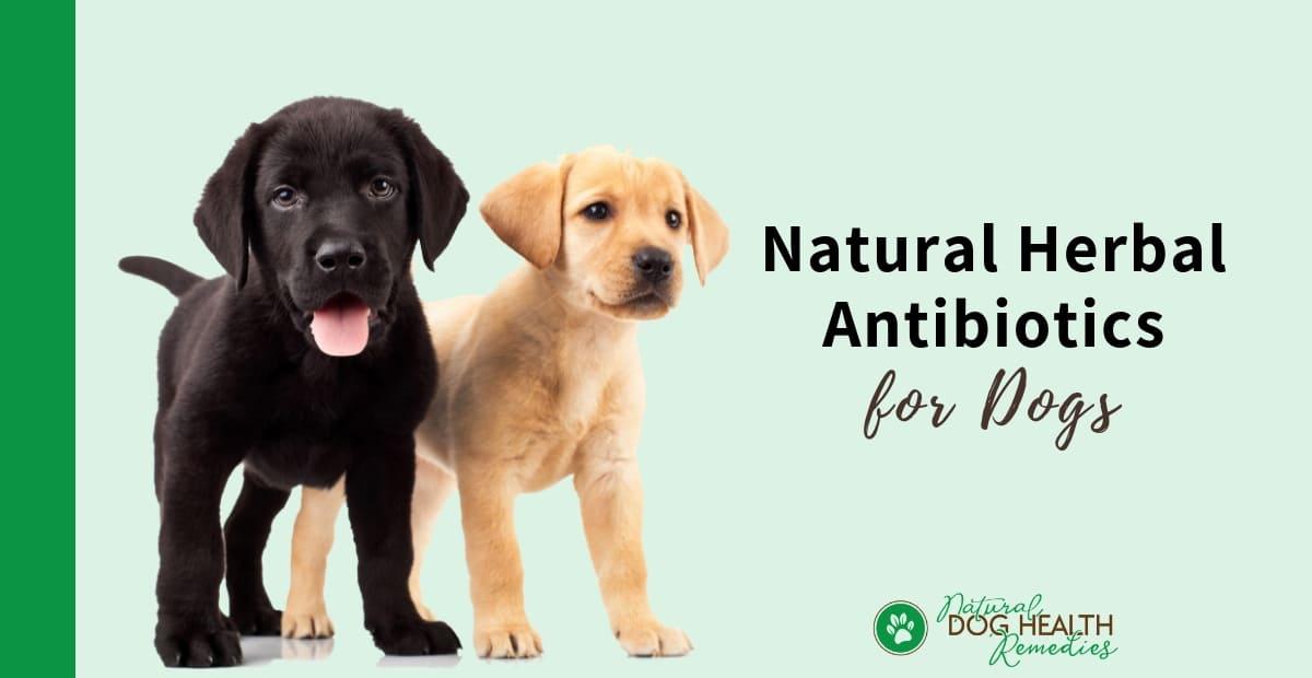 Canine Antibiotics
