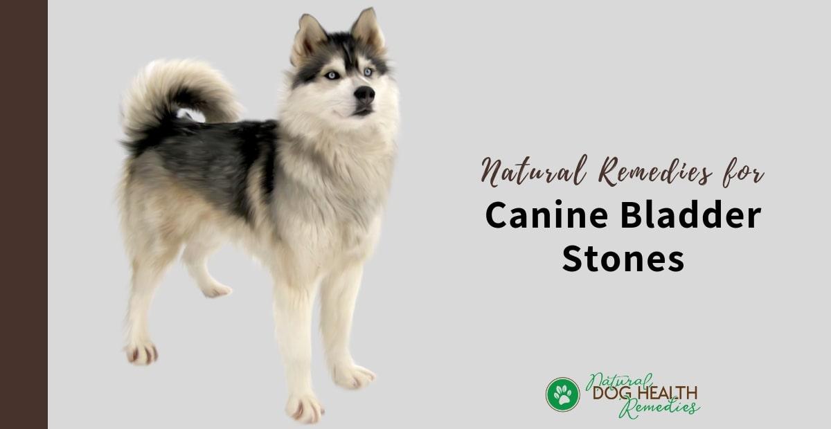 Canine Bladder Stones