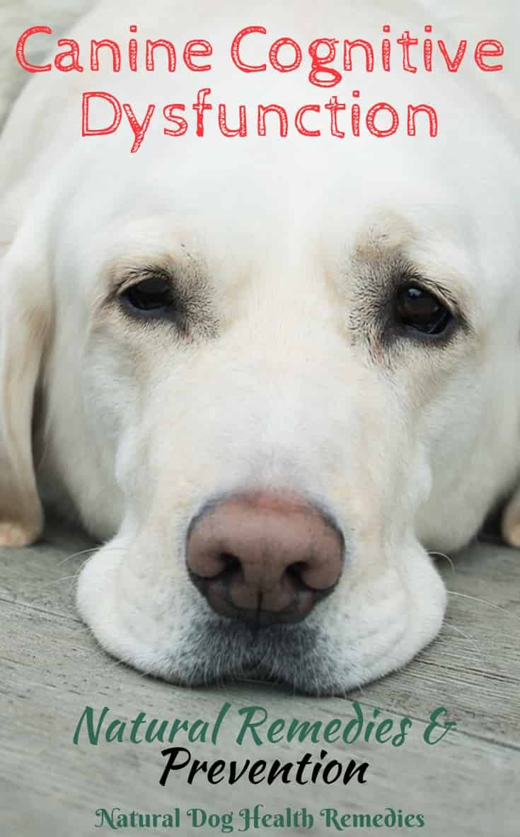Canine Cognitive Dysfunction | Signs of Old Dog Dementia