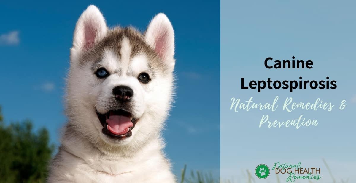 Canine Leptospirosis