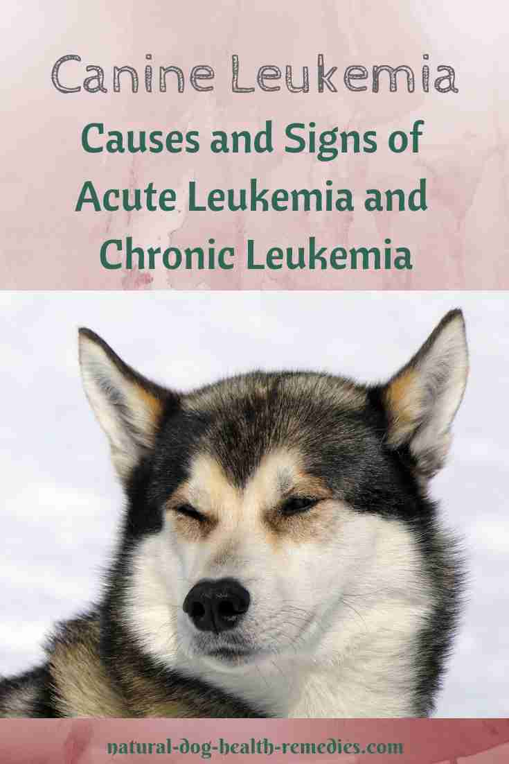 Canine Leukemia Symptoms