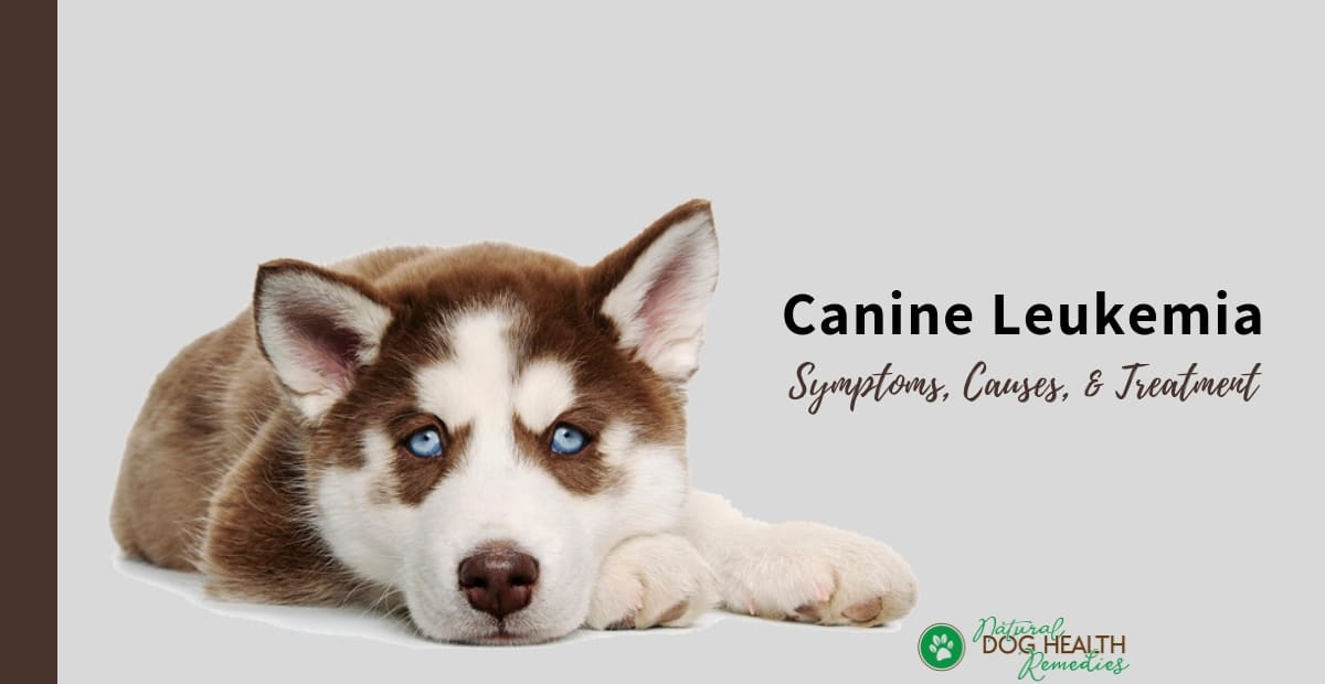 Canine Leukemia
