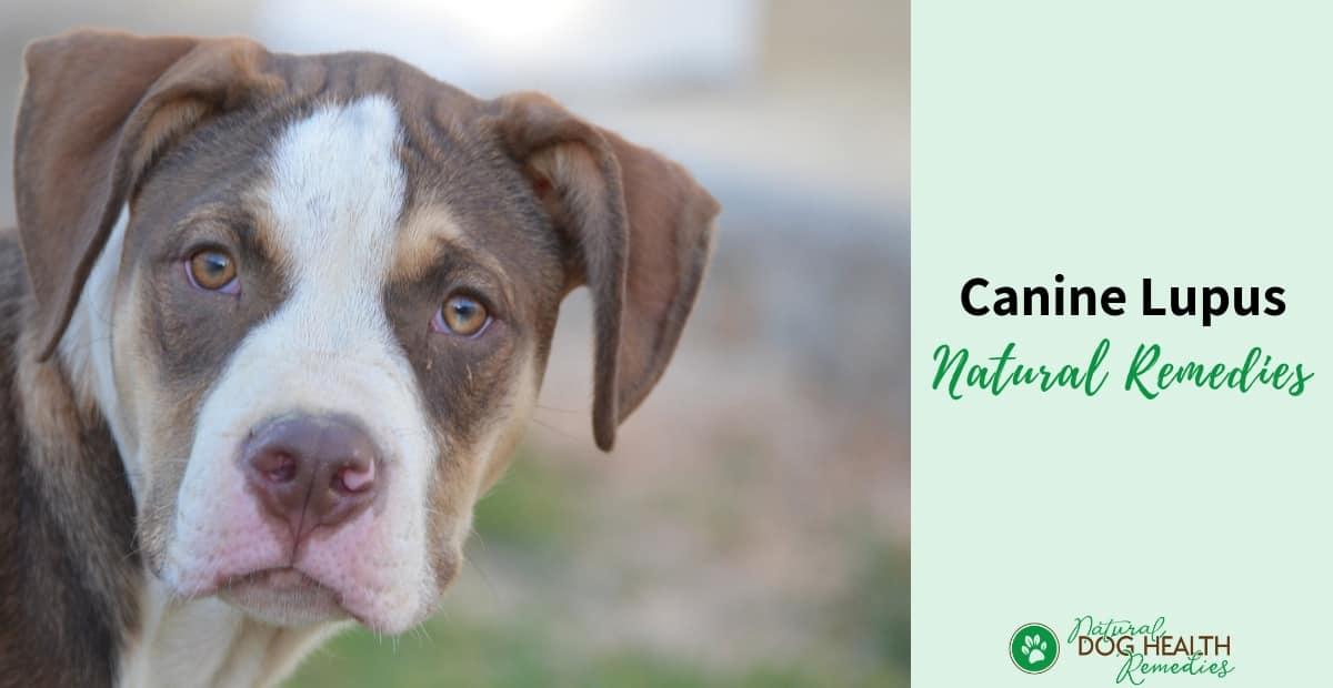 Canine Lupus Symptoms, Causes, Treatment & Remedies