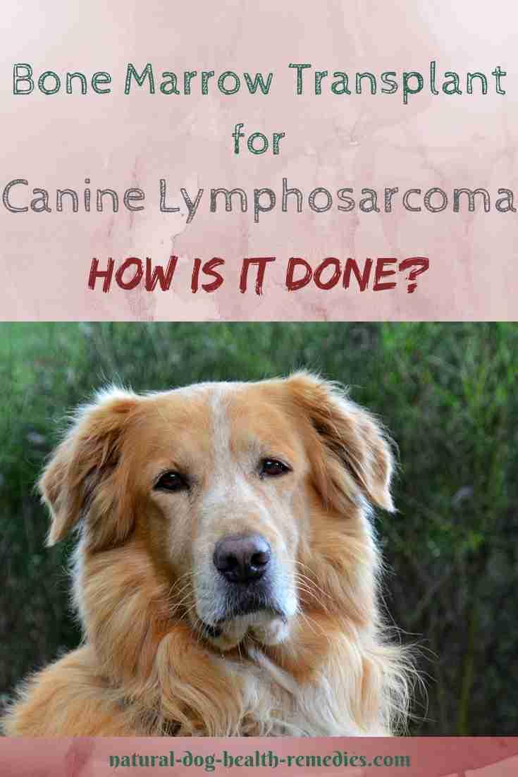 Canine Lymphosarcoma Bone Marrow Transplant