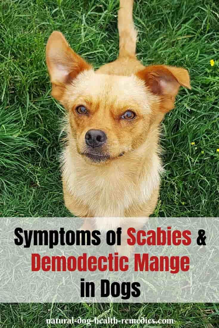 Canine Mange Symptoms & Treatment