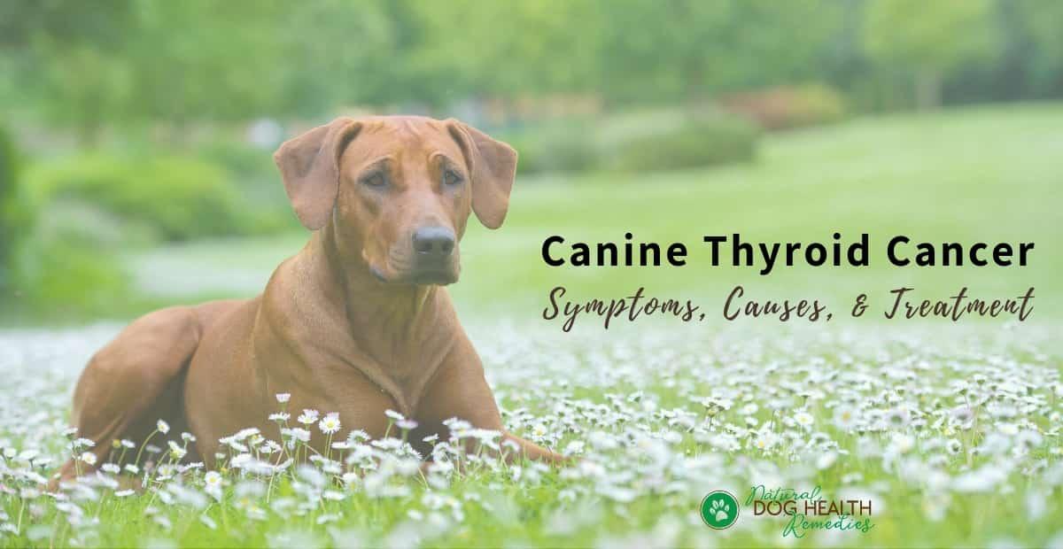 Canine Thyroid Cancer