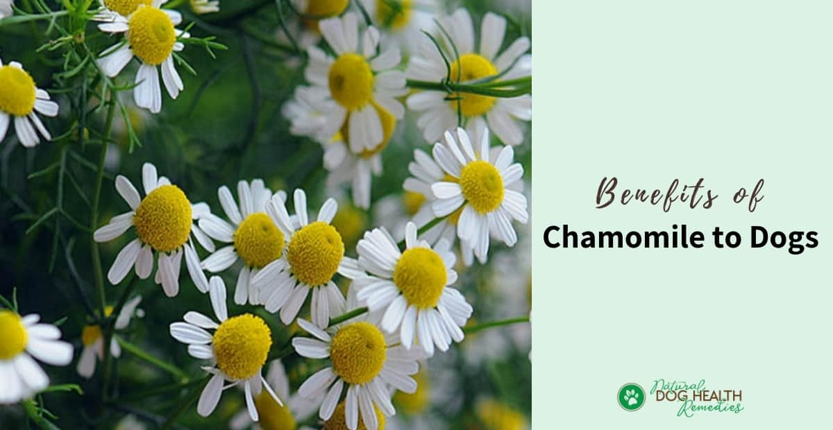 Chamomile Benefits for Dogs
