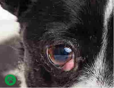 Cherry Eye in Dog