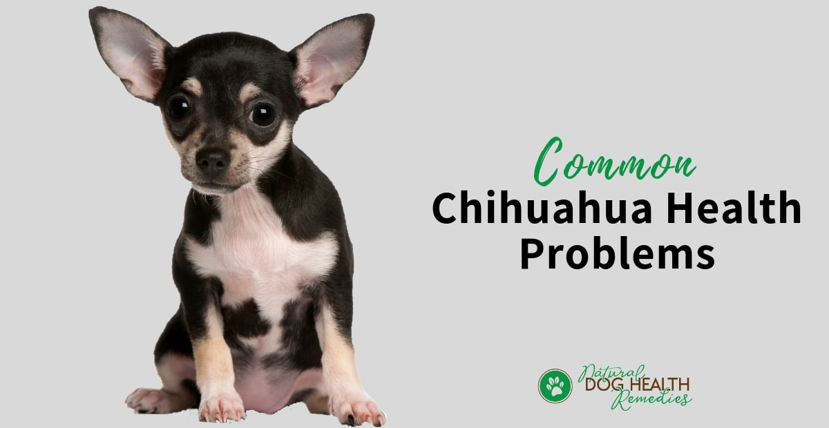Chihuahua Health Problems And Lifespan