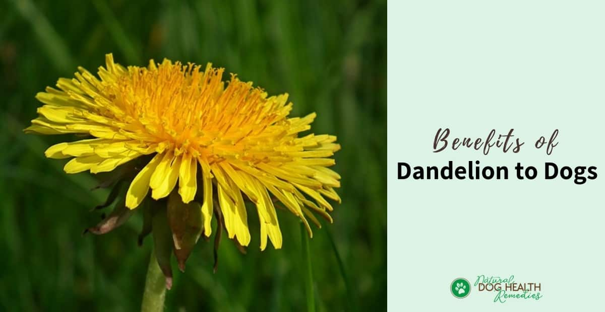 Dandelion Benefits for Dogs