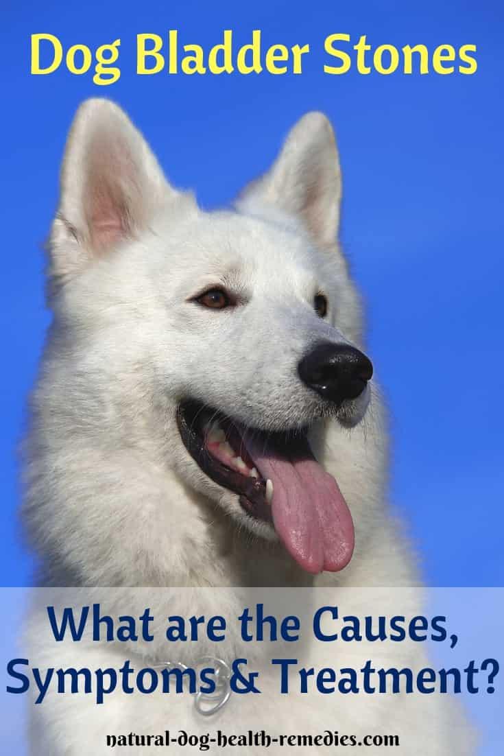 Treatment of Dog Bladder Stones