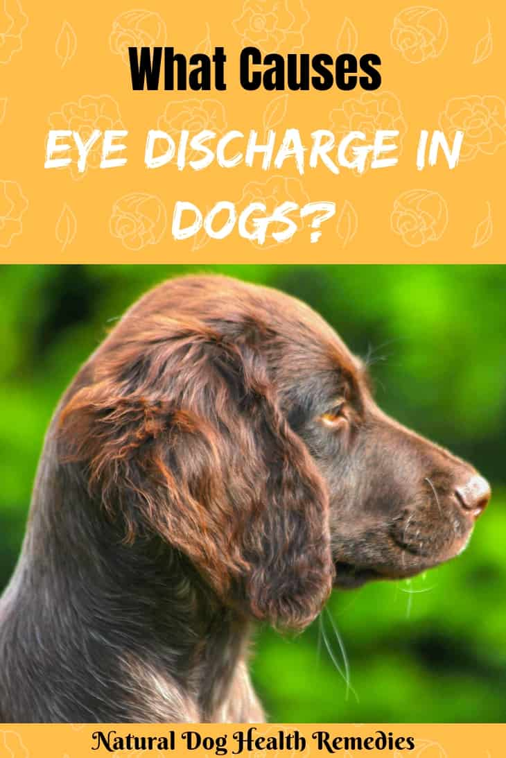 Types of Eye Discharge in Dogs