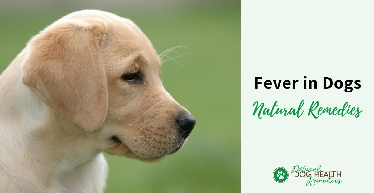 Dog Fever Natural Remedies
