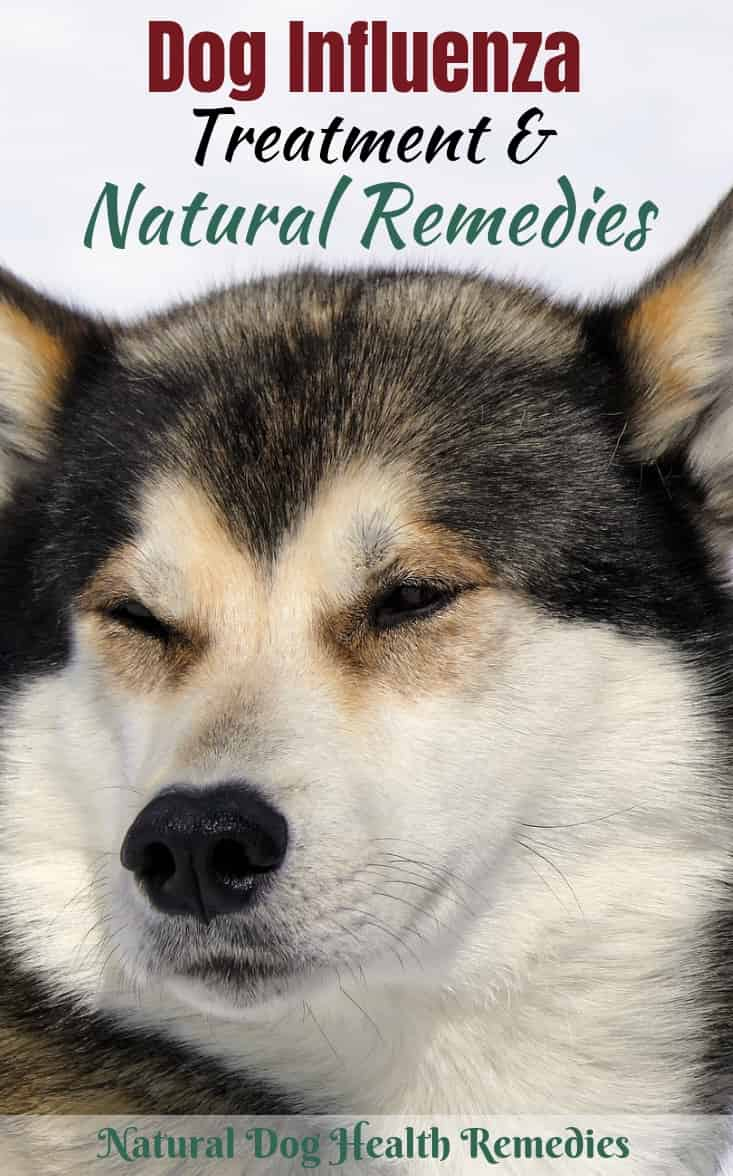 Dog Flu Treatment & Remedies