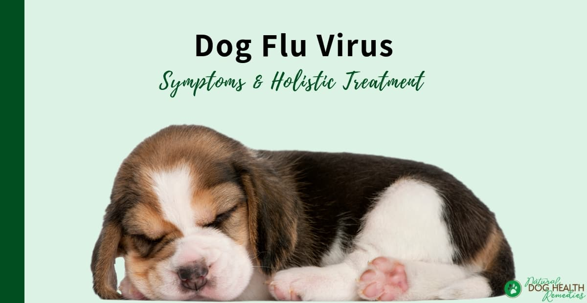 Dog Flu Virus