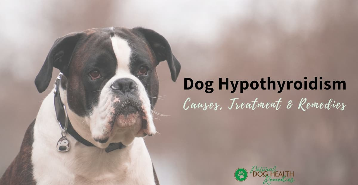 Dog Hypothyroidism
